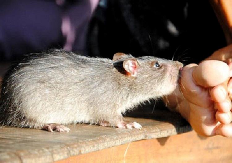 Các vi khuẩn dịch hạch được truyển bởi con người khi bị cắn bởi các loại bọ chét mà trước đó ở trên động vật nuôi đã bị nhiễm như sóc, thỏ, chuột, chó... (Ảnh: KT)