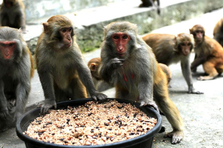 Những chú khỉ vàng Macaca mullata - nguồn gen quý hiếm ở đảo Rều. (Ảnh: Quý Hoài)