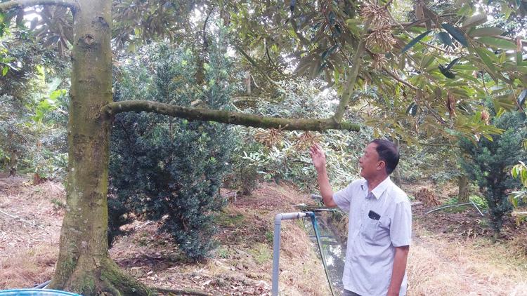 Nông dân Dương Văn Đây thăm vườn sầu riêng đang ra hoa nghịch vụ. (Ảnh: PV)