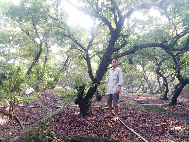 Sau đợt hạn mặn vườn sa pô ở tỉnh Tiền Giang vẫn tốt tươi.