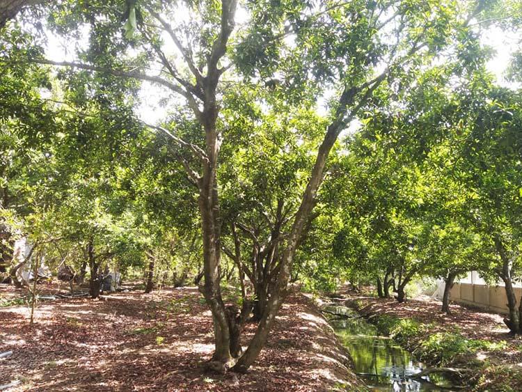 Vườn sa pô 20 năm tuổi tại tỉnh Tiền Giang.