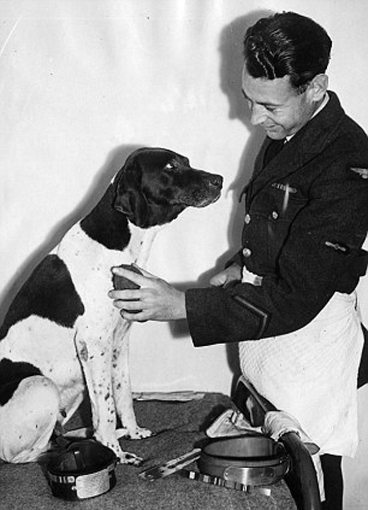 Frank Williams chải lông cho Judy - cô chó săn thuần chủng Anh quốc, đã cùng anh trải qua ba năm rưỡi trong trại tù của quân Nhật. (ảnh: Internet)