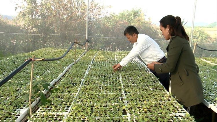 Dự án trà dược liệu Pơ Nang có tiềm năng rất lớn để thúc đẩy phát triển kinh tế.