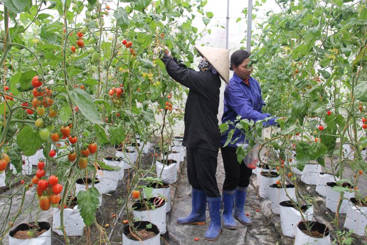 HTX Nông nghiệp công nghệ cao Đức Phát giờ phải bán lẻ rau cho người dân.