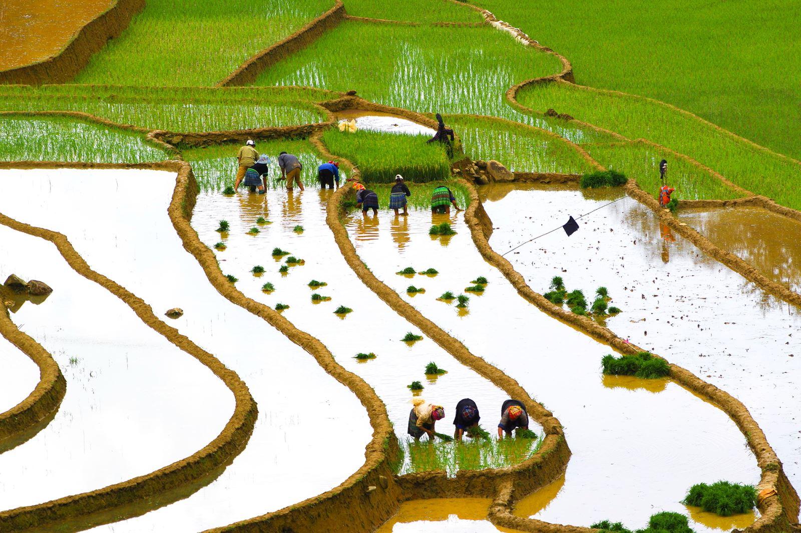 Cấy Lúa ở Mù Cang Chải (Yên Bái)