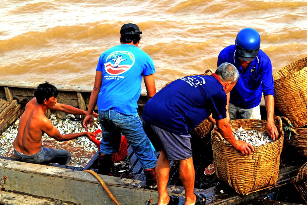 Vận chuyển cá linh lên bờ