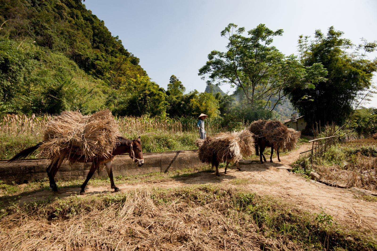 Những con lồ (ngựa) tham gia vào việc vận chuyển rơm rạ giúp bà con nông dân