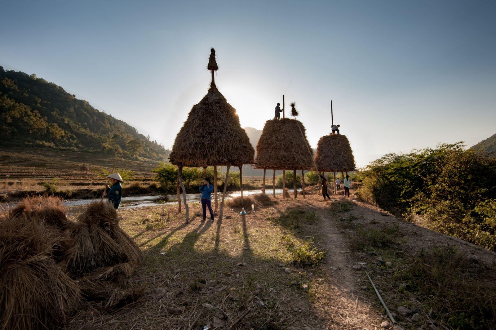 Thu hoạch lúa xong, rơm thường được gom lại chất đống dưới sàn hay xếp thành cây, để sử dụng làm thức ăn cho gia súc.