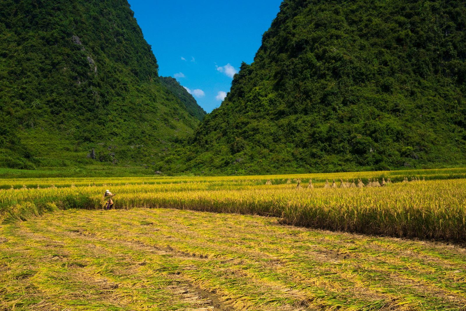 Người dân bắt đầu thu hoạch lúa