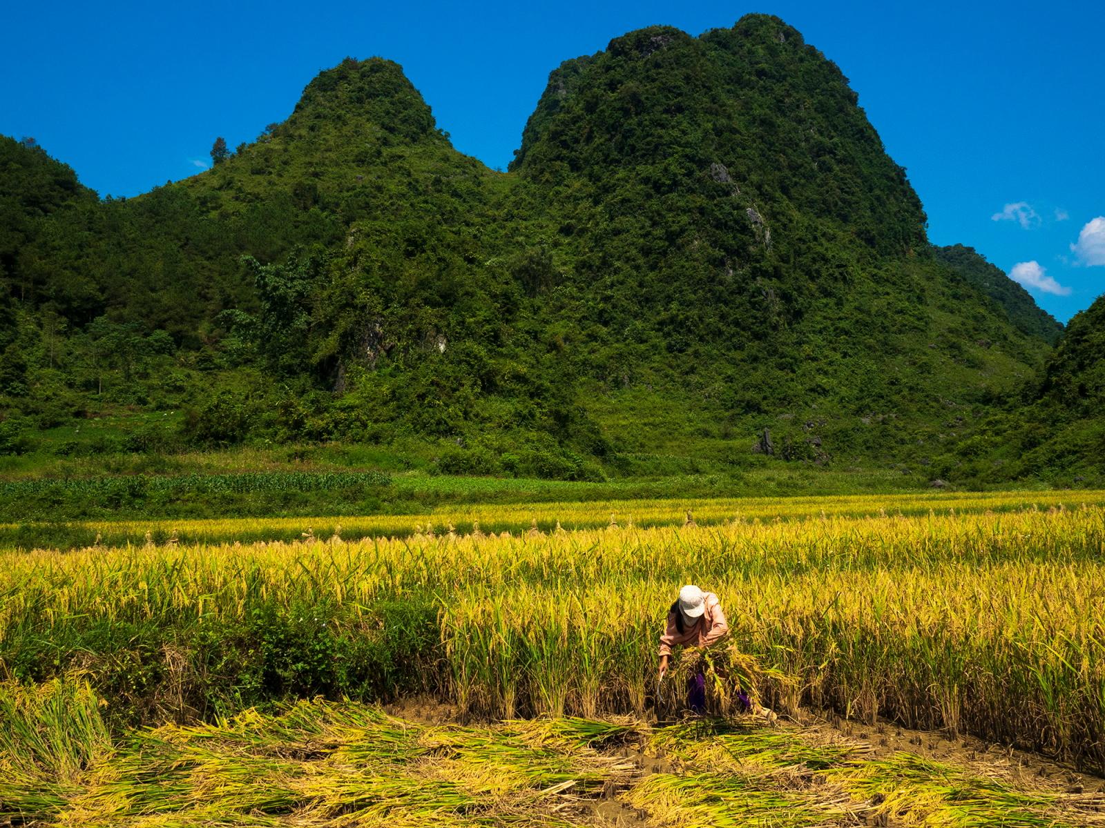 Những thửa ruộng lúa chín vàng nằm e ấp bên núi.