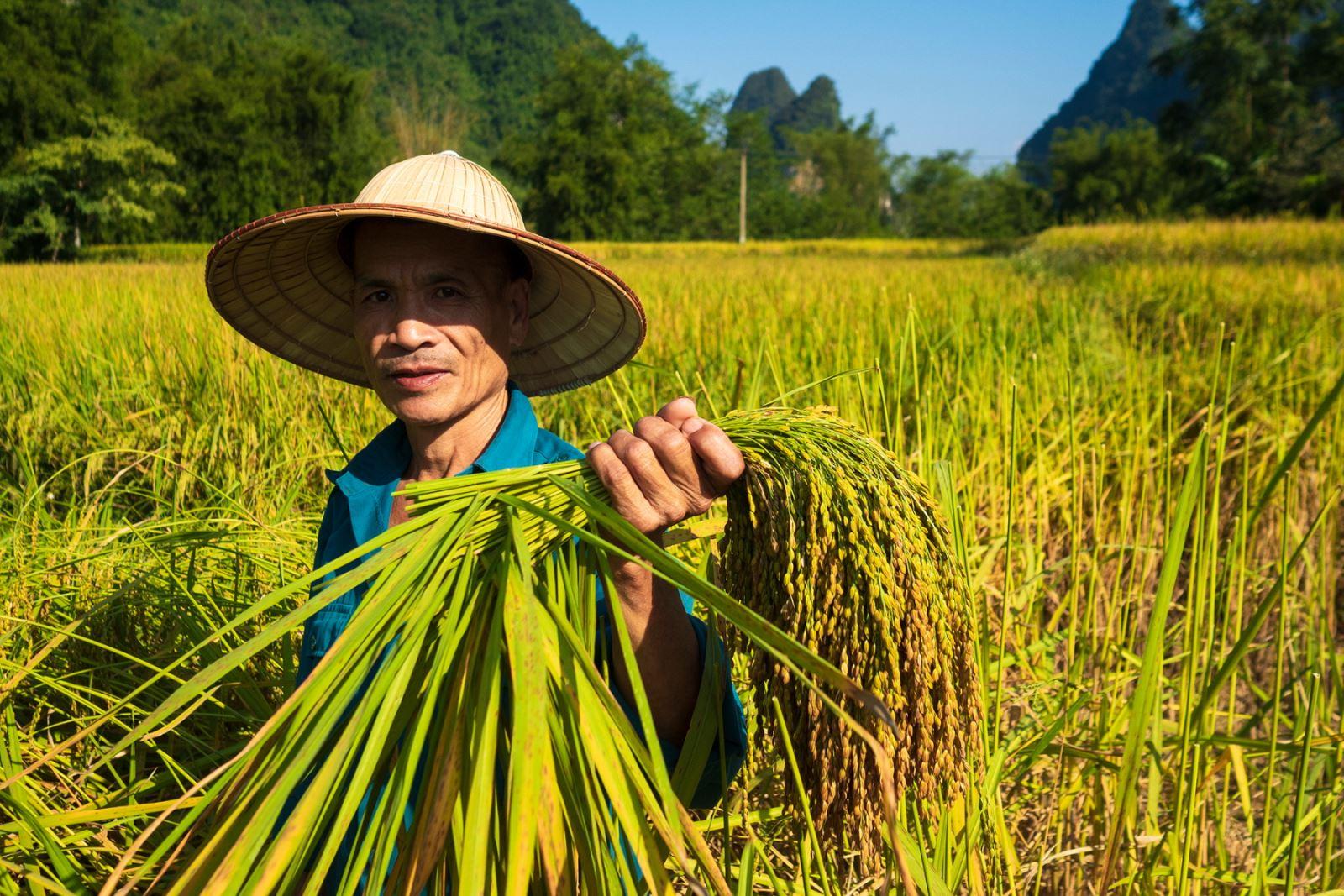 Người dân ở đây cho biết khi thu hoạch lúa nếp, phải hái từng bông, rồi phơi trong nhà thì gạo nếp mới ngon và không bị vỡ như tuốt lúa bằng máy.