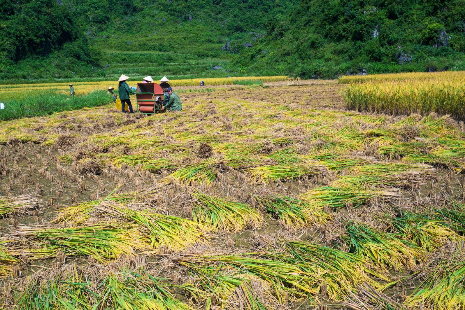 Cánh đồng lúa đang kỳ thu hoạch.
