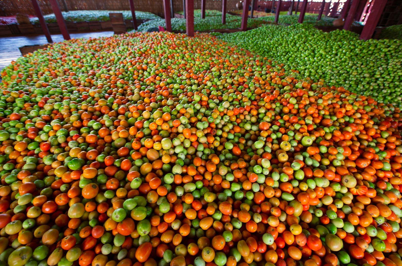 Cà chua sau được thu hoạch kể cả quả còn xanh, được gom về các kho để đóng thùng. Có khoảng hơn 40 kho chuyên thu gom và đóng thùng cà chua ở quanh khu vực hồ Inle.