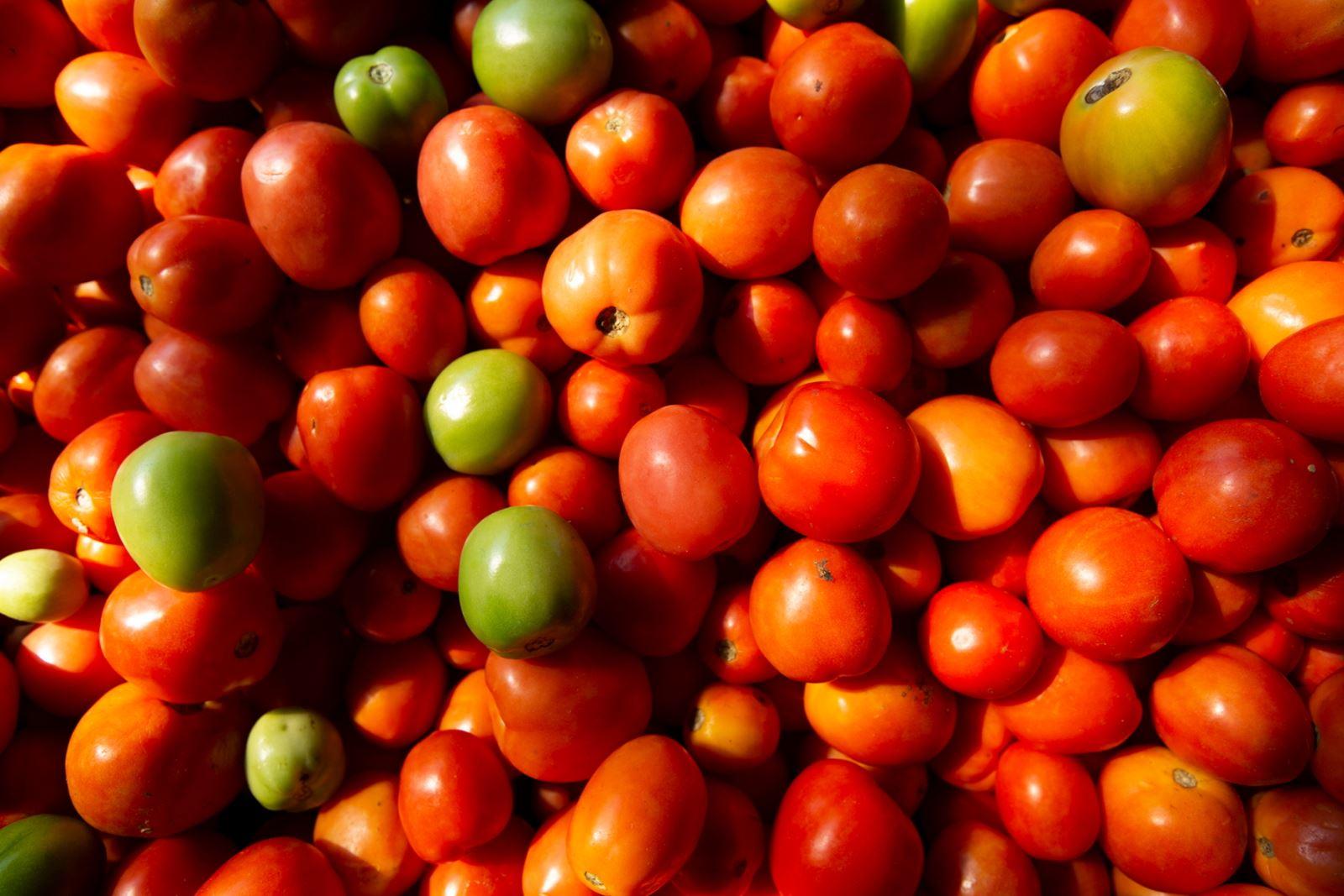 Cà chua ở vùng hồ Inle hoàn toàn sạch và có thể ăn trực tiếp ngay khi thu hoạch. Lý do là cà chua nơi đây trồng không xài thuốc trừ sâu hay hóa chất.