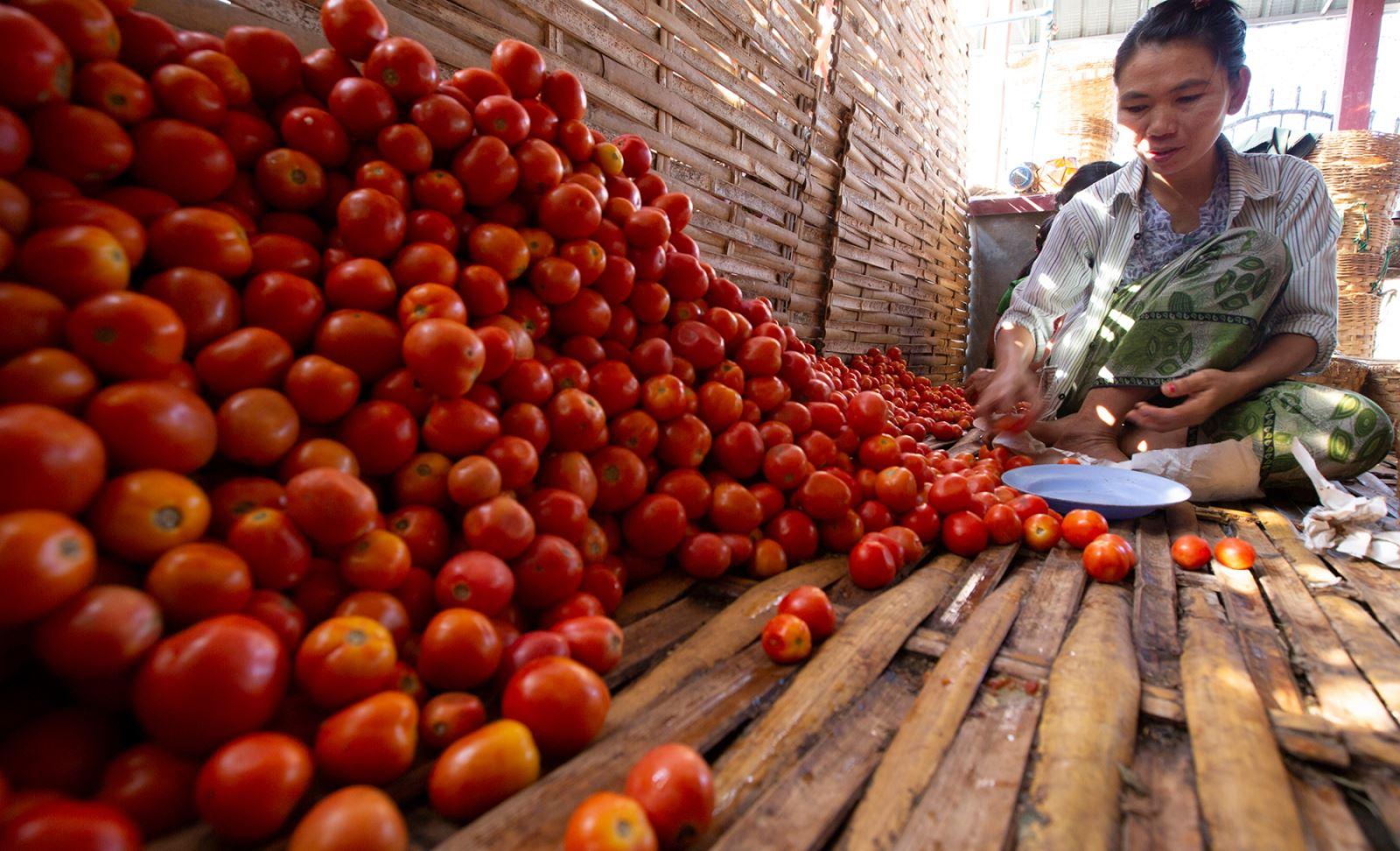Một công nhân đang ngồi phân loại cà chua chín.