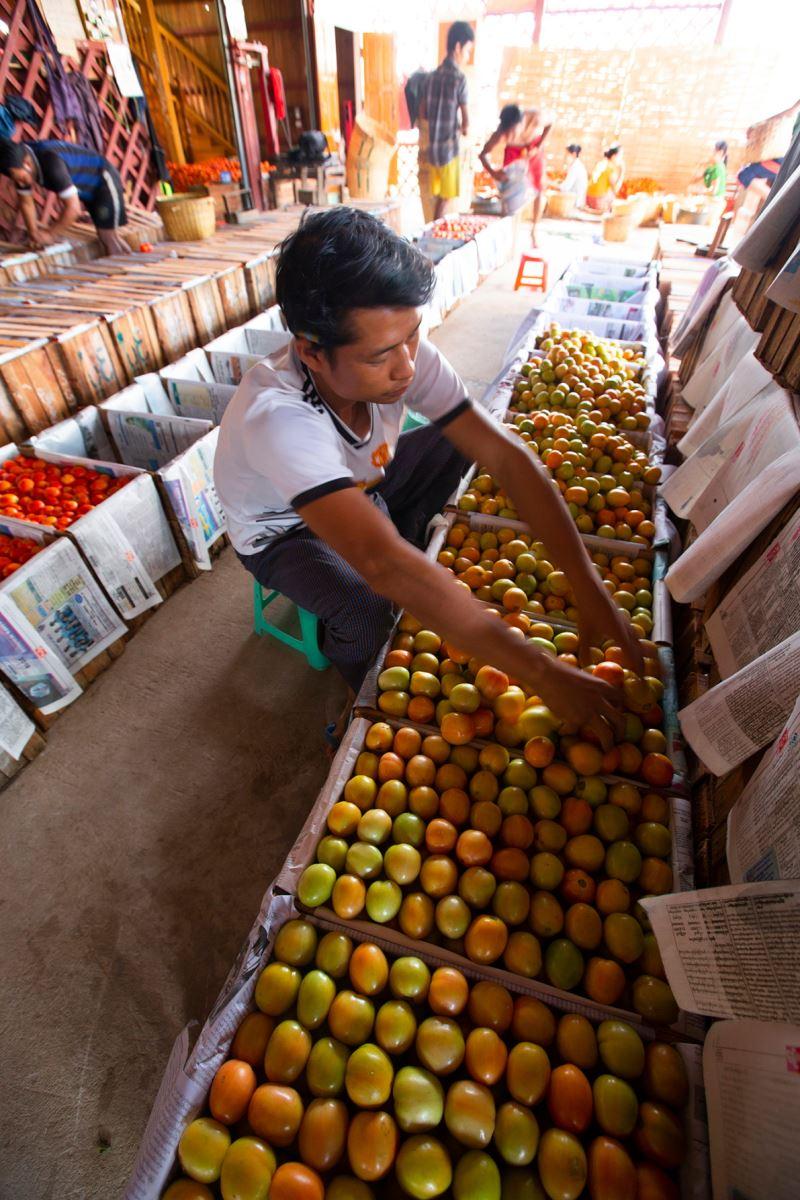 Cà chua được đóng vào các thùng theo độ chín khác nhau