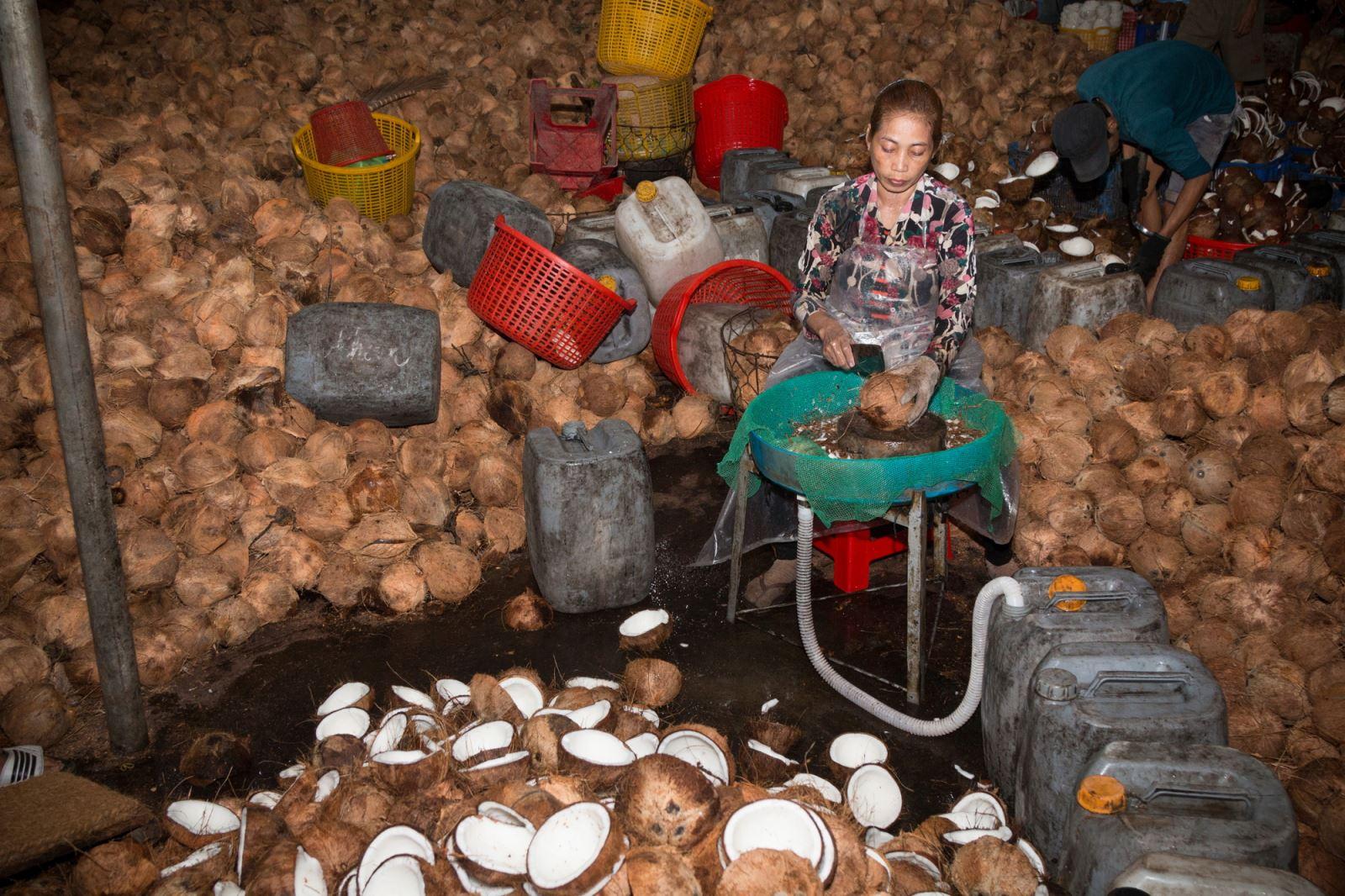 Bổ dừa.(Khi bổ đôi trái dừa,nước  dừa được giữ lại để cung cấp cho các nhà máy chế biến nước giải khát,làm thạch dừa…).