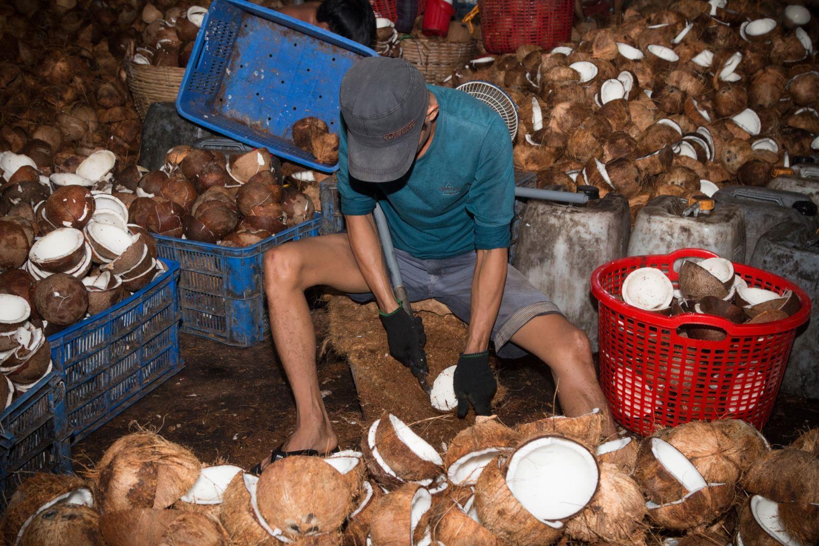 Cạy cơm dừa. (Cơm dừa được dùng làm nguyên liệu để chế biến ra các sản phẩm nước cốt dừa, dầu dừa, sữa dừa, kẹo dừa…).