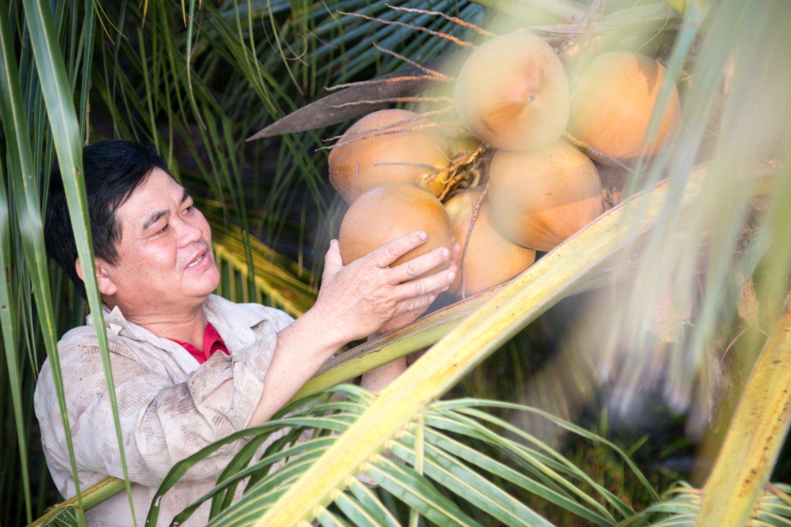 Nông dân trồng dừa.