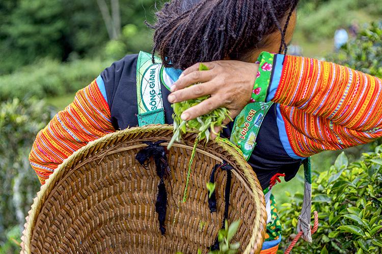 Người H'Mông đi hái trà cứ thong thả trên lưng núi. Một tay hái tay kia nghỉ ngơi. Nhặt từng búp một khi đầy lòng bàn tay thì thả vào gùi đeo trên lưng.