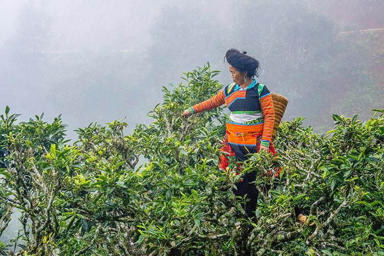 Những cây trà ở Tà Xùa mọc lẫn vào các vạt rừng, cao hàng chục mét. Hiện chỉ còn khoảng 400-500 cây, cây cổ nhất cũng to ngang với những cây trà tổ 300 năm tuổi ở Suối Giàng (Yên Bái).