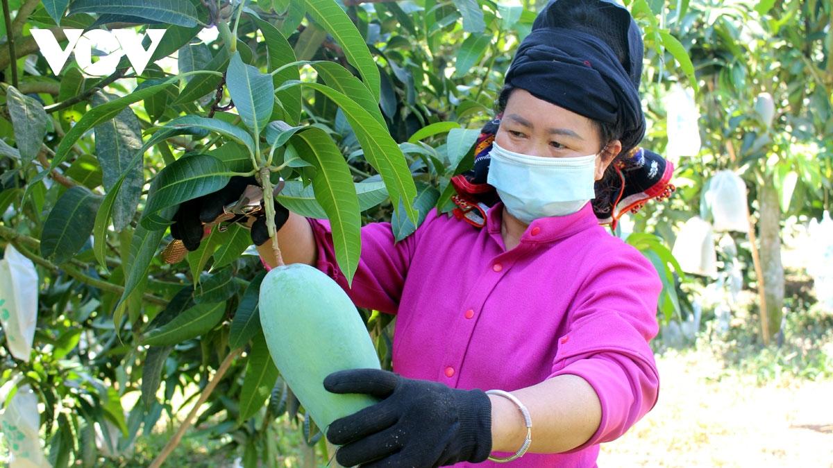 Việt Nam là thị trường cung cấp trái xoài các loại lớn thứ 13 cho Mỹ và là thị trường cung cấp xoài tươi lớn thứ 9 cho Mỹ.